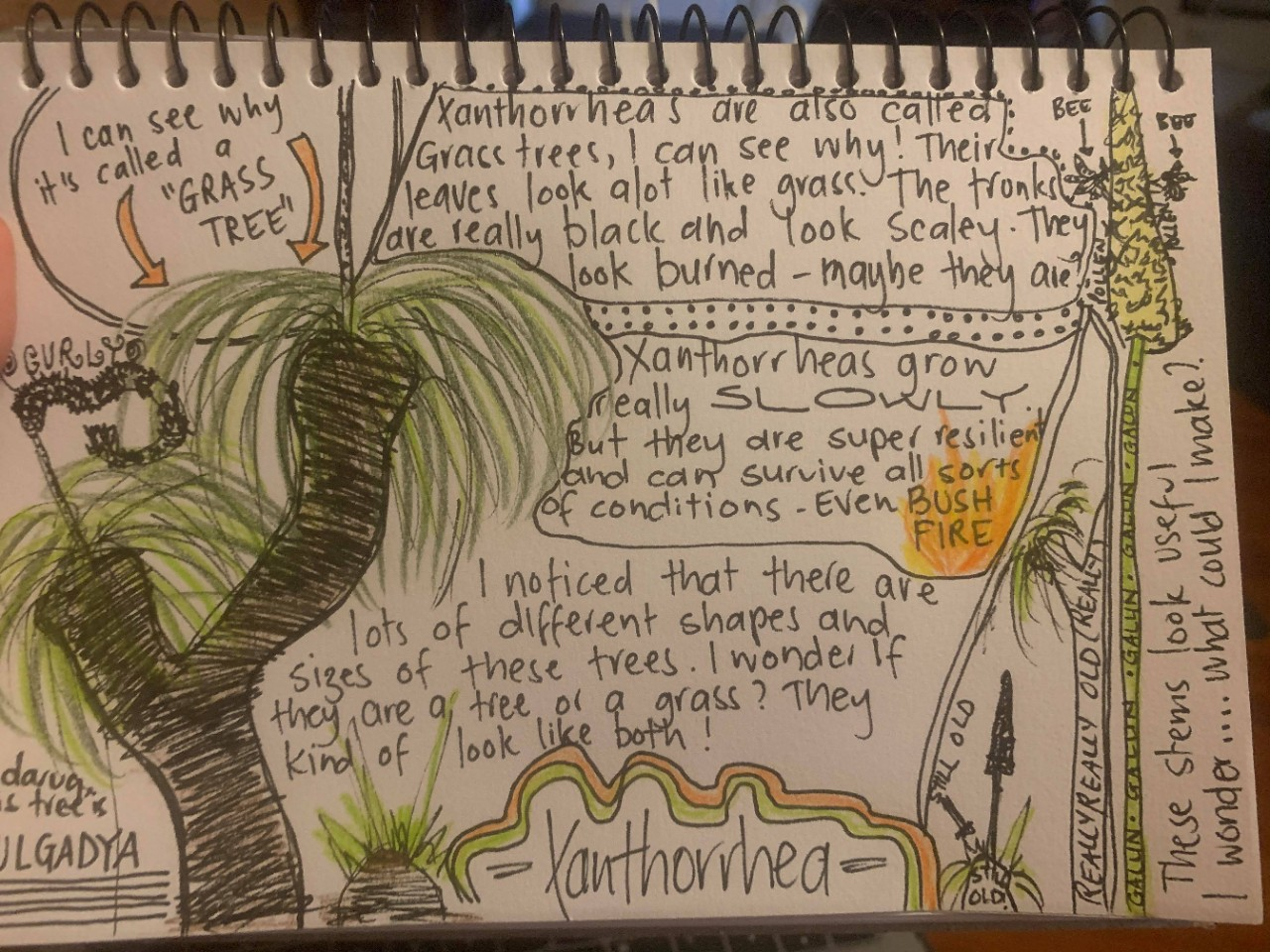 Nature journal page of xanthorrhea (grass tree) with sketches and text