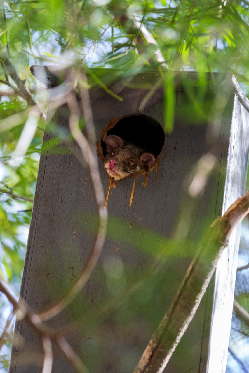 brushtail possum face sticking out of a nest box