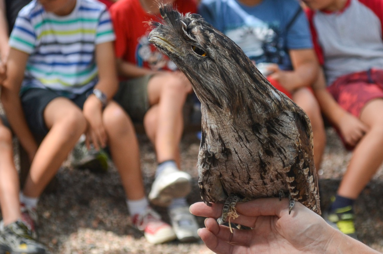 Tawny frogmouth held in the hand at a presentation for a group of students.